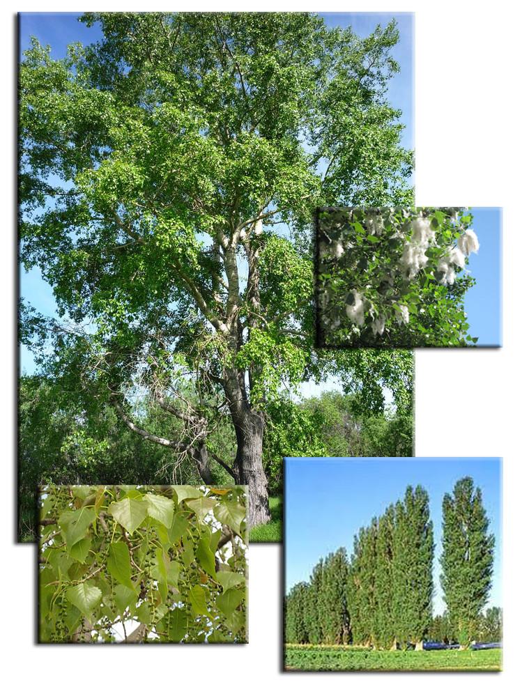 Породы древесины. Тополь