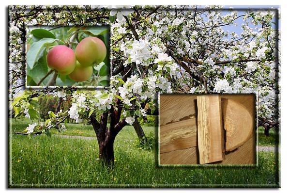 Яблоня. Дерево и древесина