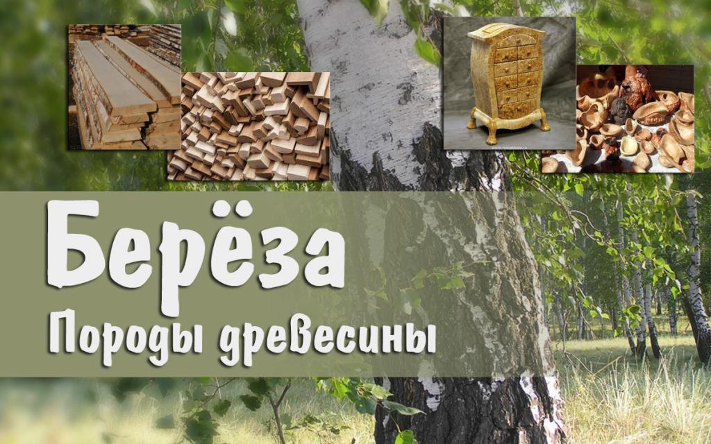 Породы древесины. Берёза