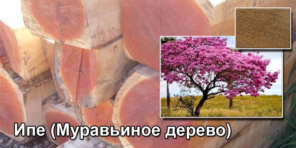 Ипе (Муравьиное дерево)