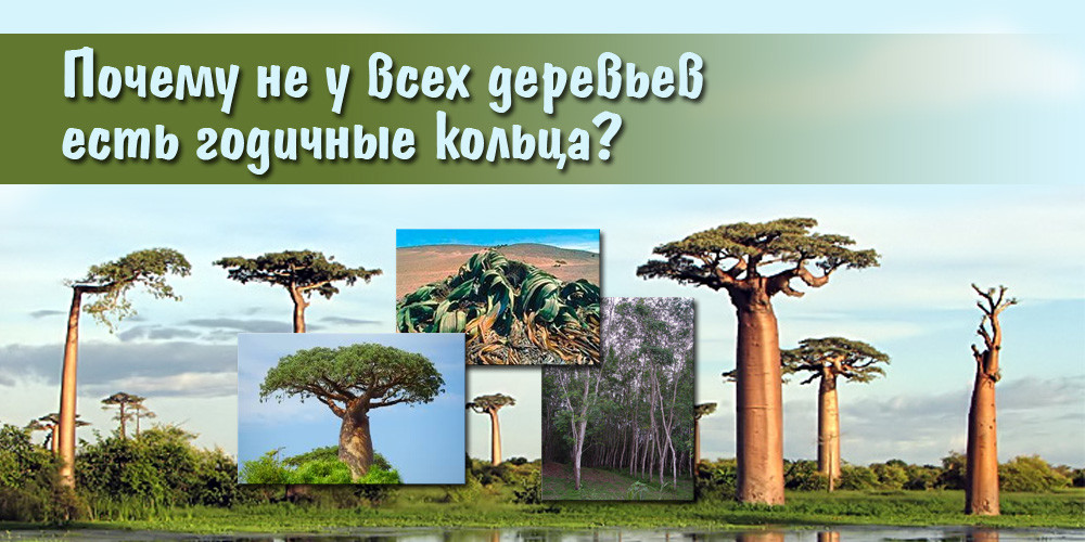 Почему не у всех деревьев есть годичные кольца